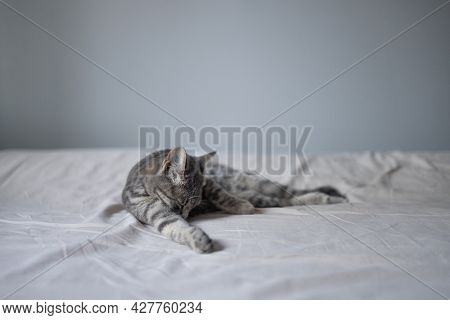 Beautiful Fluffy Cat In The Bedroom And Washes His Tongue With His Tongue, Cleans His Paws On The Be