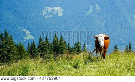 Happy Cows On A High Alpine Pasture In The Tegernsee Region In Summer With Lush Grass And A Great Vi