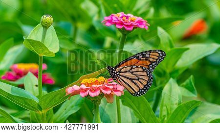 Closeup Of A Monarch Butterfly Pollinating A Bright Pink Zinnia Flower - Michigan