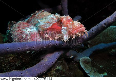 A Bearded Scorpionfish Resting On A Grey Coral Pescador Island Philippines