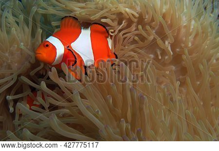 A False Clown Anemonefish In Anemone Cebu Philippines