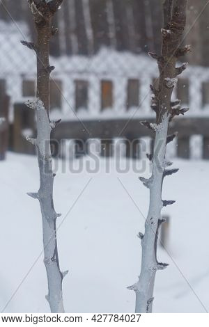 The Thin Branches And Trunk Of A Young Apple Tree Are Whitewashed To Protect Them From The Sun In Sp