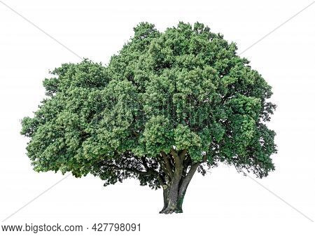 Big Greenery Holly Oak Tree Isolated, An Evergreen Leaves Plant Di Cut On White Background With Clip