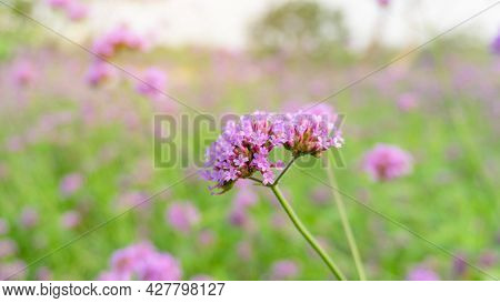 Field Of Purple Petite Petals Of Vervian Flower Blossom On Green Leaves Under Sky, Know As Purpletop