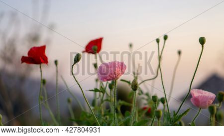 Filed Of Pink And Red Petals Of Opium Poppy Flower Blooming On Blurry Green Leaves And Bud Under Sun