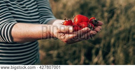 Summer Dessert. Female Hands With Handful Of Ripe Strawberries. Healthy Rural Organic Harvest In The