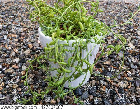 Senecio Peregrinus String Of Dolphin Or Dolphin Plant In A White Pot