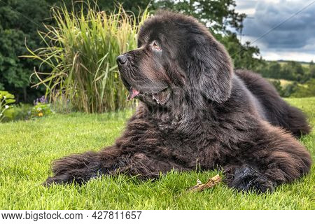 Newfoundland Dog Breed In An Outdoor. Big Dog On A Green Field. Rescue Dog. Show Breed Of Dog.