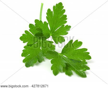 Branch Of Fresh Green Parsley Isolated On White Background.