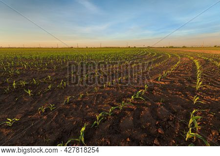 Germination Of Corn Photo / Dawn On An Agricultural Field