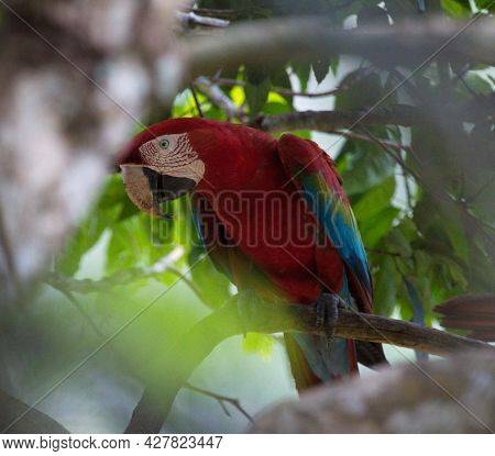 Closeup Of Colorful Scarlet Macaw (ara Macao) Camouflaged Between Branches In Wild Tree, Pampas Del