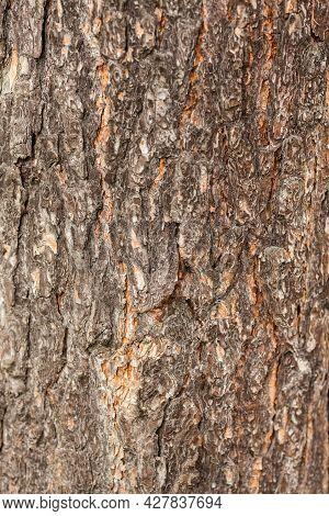 Bark Of Tree. Pine Tree Bark Texture. Aged And Dry Tree Bark. Rough Material.