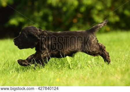 Amazing, Newborn And Cute Black English Cocker Spaniel Puppy Detail. Small And Cute Black Cocker Spa