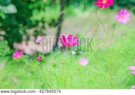 Floral Natural Summer Background With Cosmos Bipinnatus Blooming In The Garden Among The Trees.