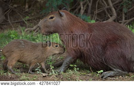 Closeup Portrait Of Mother And Baby Capybara (hydrochoerus Hydrochaeris) Resting Together On Riverba