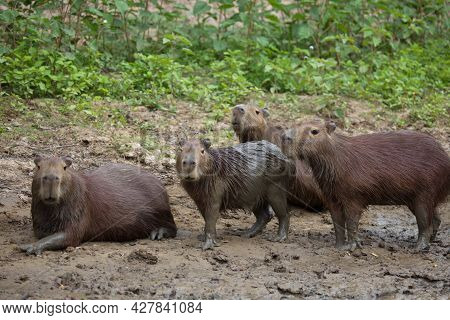 Closeup Portrait Of Family Of Capybara (hydrochoerus Hydrochaeris) Resting And Playing In Mud Riverb