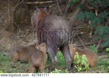 Closeup Portrait Of Mother With Baby Capybara (hydrochoerus Hydrochaeris) Feeding On Riverbank Pampa