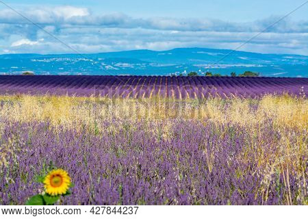 Touristic Destination In South Of France, Colorful Lavender And Lavandin Fields In Blossom In July O