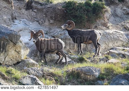 Two Bighorn Sheep Rams Stand Infront Of A Rocky Ledge