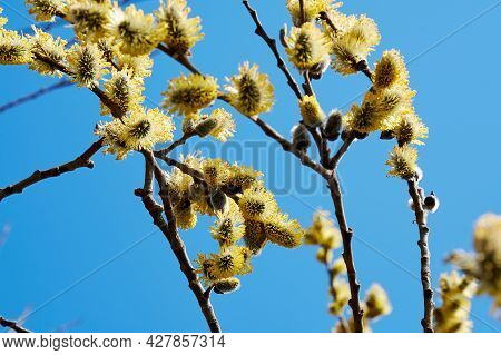 Lush Blossom Pussy-willow Tree Branch With Yellow Buds On The Blue Sky. Springtime And Summer Wild N
