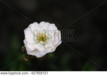 White Flower Of Rosa Canina On A Natural Green Background.
