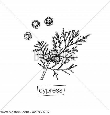 Hand Drawn Cypress Sketch Black For Decoration Design. Outline Vector Illustration. Natural Line Art