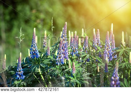 Blooming Lupine Flowers. A Field Of Lupines. Sunlight Shines On Plants. Violet Spring And Summer Flo