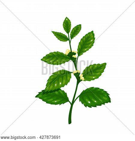 Lemon Balm. Aromatic Seasoning Ingredient. Herbs . Isolated Vector Illustration In Cartoon Style.