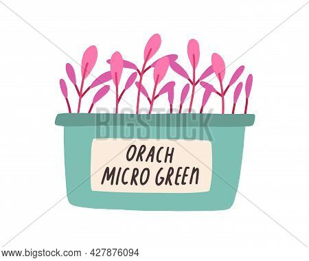 Red Garden Orach Microgreens Growing In Pot. Plant Shoots Of Micro Greens In Container. Seedlings An