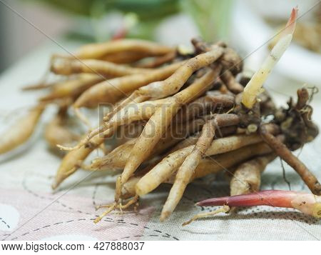 Krachai, Boesenbergia Rotunda Fingerroot, Lesser Galangal Or Chinese Ginger, Is A Medicinal And Culi