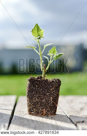 Young Green Sprout Of A Paulownia Tree Is Ready For Planting. Beautiful Fast-growing Tree That Is Ga