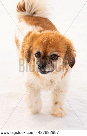 Happy Cavalier King Charles Spaniel Companion Dog Outdoors On White Snow Covered Frozen Ground