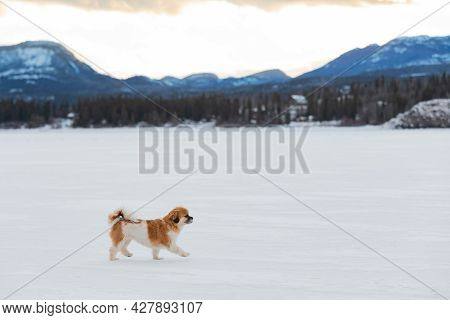 Happy Cavalier King Charles Spaniel Companion Dog Walking Outdoors On White Snow Covered Frozen Lake