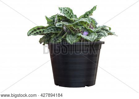 Brisbane Lily Or Eurycles Amboinensis Whit Purple Flower Bloom In Black Plastic Pot In The Garden Is
