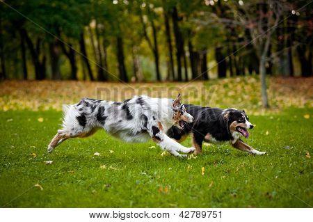 zwei australian shepherd spielen zusammen