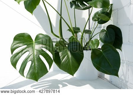 Beautiful Monstera Deliciosa Or Swiss Cheese Plant In The Sun Against The Background Of A Brick Whit