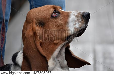 Dog Breed Basset Hound With A Sad Look Close-up Sitting At The Feet Of The Owner Sitting