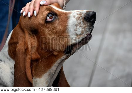 Hand Stroking A Dog With Large Hanging Ears Of The Basset Hound Breed On The Street On A Summer Day