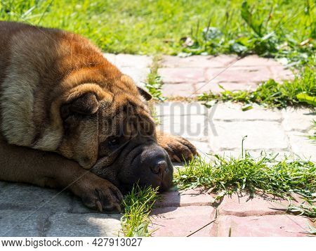 Close-up Sad Face Of Shar Pei With Place For Text