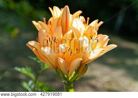 Lily Flowers. Close-up Of Big Orange-pink Flowers Lilies. Daylily In The Garden. Garden Summer Flowe