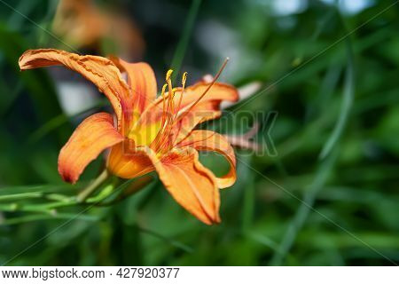 Lily Flowers. Close-up Of A Beautiful Big Orange Lily Flowers On A Blurred Background. Daylily In Th