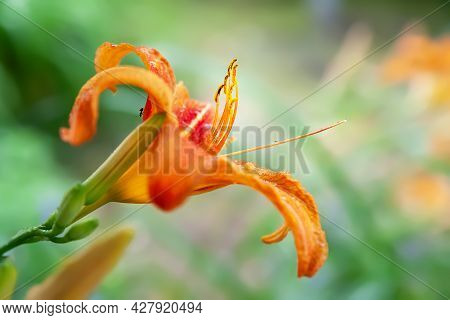 Lily Flowers. Wet Beautiful Orange Lily Flowers With Rain Drops On A Blurred Background With Bokeh E