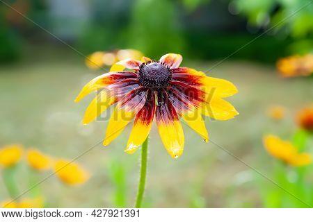 Rudbeckia Flowers. Close-up Of Wet Beautiful Yellow Rudbeckia Flowers On A Flower Bed. Black-eyed Su