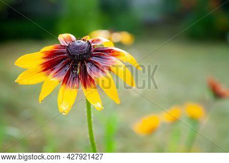 Rudbeckia Flowers. Close-up Of Wet Beautiful Yellow-red Rudbeckia Flowers In A Flower Bed. Black-eye