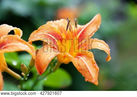 Lily Flowers. Wet Beautiful Orange Flowers Lilies With Drops On A Green Blurred Background With Boke