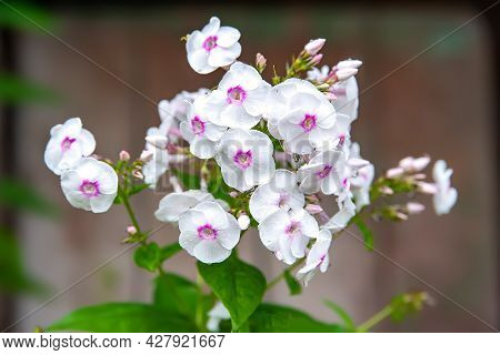 Phlox Flowers. Beautiful Large Inflorescences Of White Phlox On A Blurred Background With Bokeh Effe