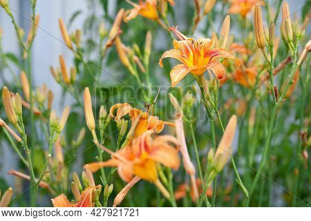Lily Flowers. Wet Beautiful Orange Lily Flowers With Rain Drops On Myagrazmytom Background With Boke