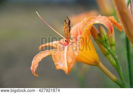 Lily Flowers. Wet Beautiful Orange Flowers Lilies With Drops On A Blurred Background With Bokeh Effe