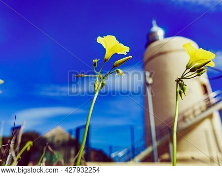 Spring Yellow Flowers And Carbonera Lighthouse On Punta Mala, La Alcaidesa, Spain. Lantern Overlooks