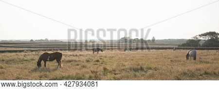Horses Backlit By Evening Sun In Dry Meadow Landscape On Island Of Texel In Holland